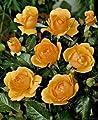 Beetrose 'Amber Queen' -R- im 4 L Container von Rosen-Union auf Du und dein Garten