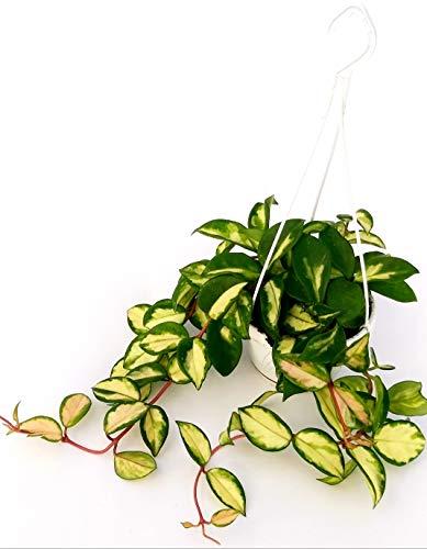 hoya carnosa tricolor xl, pianta vera