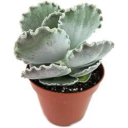 Fangblatt - Cotyledon undulata - seltenes Muschelblatt - pflegeleichtes Dickblatt für das sonnige Fensterbrett - dekorative Sukkulente für Ihre Wohnung