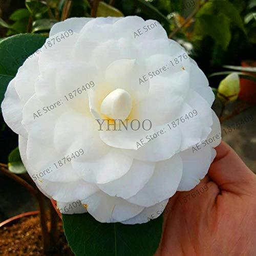 agrobits ! nuovo arrivo 13 colori disponibili molte varietà di camellia flores piante in vaso flower garden plantas camelia bonsai plante 5: 13