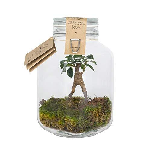 Ficus Gewicht