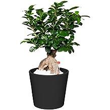 EVRGREEN Ficus Ginseng | Ginseng Bonsai | Zimmerpflanze in Hydrokultur | im Set inkl. Keramiktopf (anthrazit/schwarz) | Ficus microcarpa 'Bonsai'