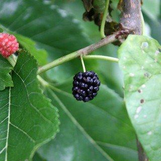 Schwarze Maulbeere - Morus nigra - Pflanze für den Garten