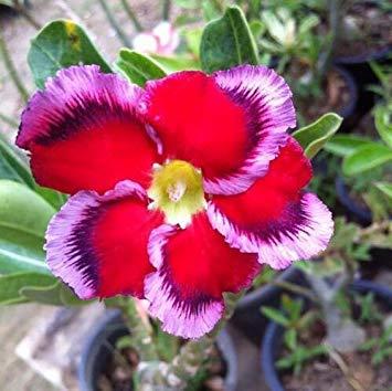 Desert Rose Rare Graines 2 Particules / Lot Plantes ornementales Balcon Fleurs rouges Bonsai pot de fleur Graine réel Adenium obesum Pot 10