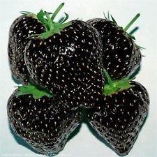Erdbeeren schwarz - 30 Samen