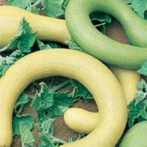 seekay Zucchini TROMBONCINO Albenga 10 Samen