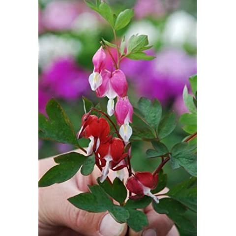 Romence Gardens, Dicentra spectabilis 'Valentine' (Old-Fashioned Bleeding Heart) by Romence Gardens