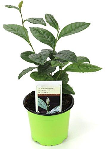 2 x Echte Teepflanze, Echter Tee, im 13 cm Topf, für Heim & Garten
