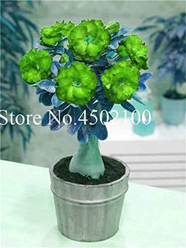 Pinkdose Vero 2 Pz Adenium Obesum Bonsai Esotico Rosa Del Deserto Bonsai Fiori In Vaso Balcone Multi-Color Petali Piante grasse Semi di piante: 13