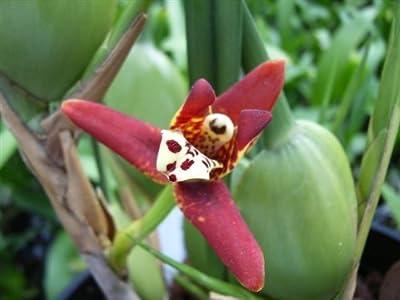 1 blühfähige Orchidee der Sorte: Maxillaria, 9cm Topf, Starker Kokosduft von 1892 bei Du und dein Garten