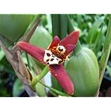 Mühlan Aquatic Plants - Pianta di orchidea, varietà Maxillaria, con forte profumo di cocco, vaso da 9 cm