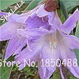 Fash Lady 2 Stück Amaryllis Zwiebeln, Hippeastrum Blumen Zwiebeln, (Nicht Samen) Bonsai Blumenzwiebeln, Barbados Lilie Topfpflanze Gartenpflanze 19
