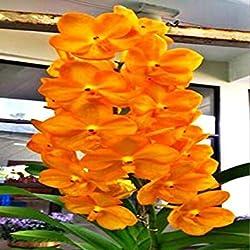 seedsown . Emballage 100pcs d'orchidées rares et Mini Phalaenopsis Fleurs Plantes pour Jardin Décoration Plantes d'intérieur Fleurs SEMENTES: Jaune Clair
