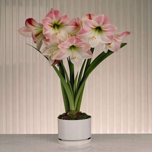 Amaryllis Apple Blossom - 1 blumenzwiebel - Amaryllis Apple Blossom