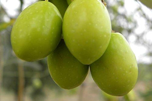ALBERO DI ULIVO FRANCESE \'PERANZANA\' DA TAVOLA- pianta da frutto da esterno