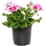 Geranio Zonal Planta Natural en Maceta de 14cm Geranium Pelargonium Flores Colores Surtidos