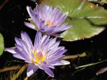 feelingathomeit-stampa-su-tela-100-cotone-intelaiata-violet-water-lily-i-cm-91x122-dimensioni-person