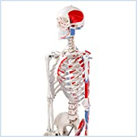S24.1120 Skelett, 175cm, mit Muskelbemalung