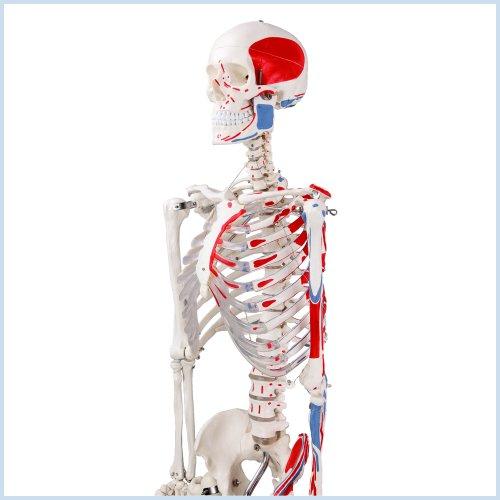 S24.1120 Modelo anatómico de esqueleto con músculos pintados, tamaño real