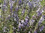 Schellenblume - Adenophora liliifolia