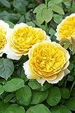 'Charlotte' -R- Englische Rose in A-Qualität Wurzelware