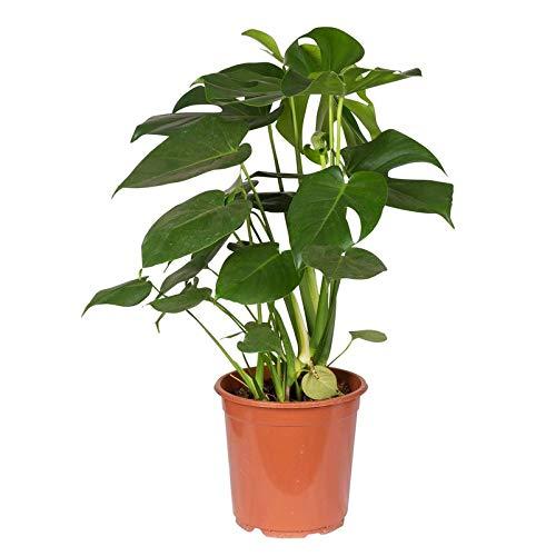 Pflanzen Kölle Fensterblatt Monstera deliciosa, Topf 21 cm, Höhe 70 cm