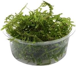 Bunnycart Aquatic Plant Java Moss (Green, 1232) - Pack of 1 Box