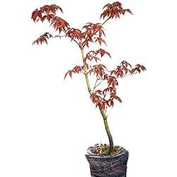 Japanischer roter Ahorn/Fächerahorn / Acer palmatum atropurpureum/ca. 50 Samen/Baum- und Bonsai geeignet