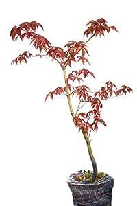 japanischer roter ahorn f cherahorn acer palmatum. Black Bedroom Furniture Sets. Home Design Ideas