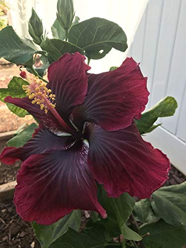 Aiden Gardens Dwarf Hybrid Hibiscus Plant Back Red Dark Red Color Flower 1 Helathy Live Plant On Poly Bag