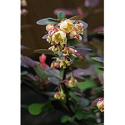 Buntlaubige Berberitze 'Harlequin' - starke Pflanze im 2l Topf (2er-Set)