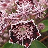 Shop Meeko gardenexpert Kalmia 'Sterntaler' 15 centimetri Pot Size Arbusto