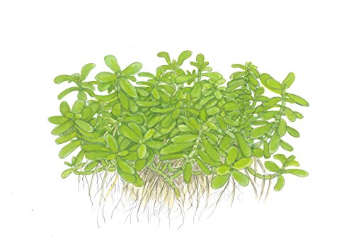 Tropica Bacopa compact Live Aquarium Plant - EU Grown & Shrimp Safe 3