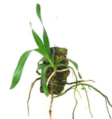 Mühlan Orchideen 1910