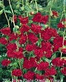 Premier Seeds Direct CLK03F Mandelröschen DoppeelblumenSamen – Rot (Packung mit 2500)