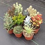 Cactus e Succulente Semi misti, 100 semi