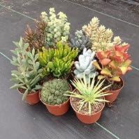 Vous achetez 100 graines d'un mélange aléatoire de différentes espèces de cactus et plantes succulentes . Un moyen idéal pour commencer votre collection . Ce est toujours une surprise ce que vous obtenez . Elles germent à des températures élevées et ...