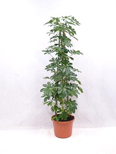 Schefflera arboricola - Strahlenaralie - 180 cm / Zimmerpflanze