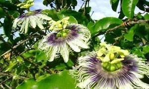 Mikes hybride Passiflora edulis Choix | 20_Seeds POUR NOUS