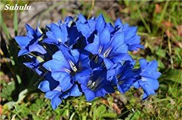 100 Pcs Largeleaf bleu gentiane Graines rares Gentianopsis Graines de fleurs vivaces Bonsai plantes pour jardin Décor Livraison gratuite 3