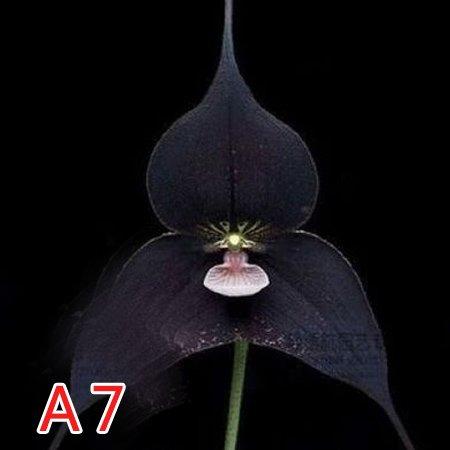 50PCS / Lot Singe Rare Graines Visage Orchidée Fleur principale Phalaenopsis Bonsai Usine jardin Fournitures