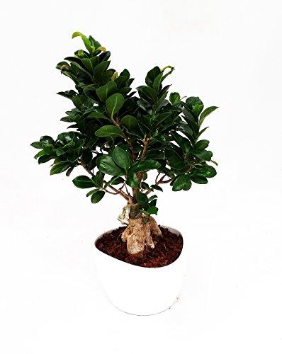 pianta vera da interno bonsai ficus ginseng 250 g ceramica judith ornamentale Ø 16 m - h 40 cm