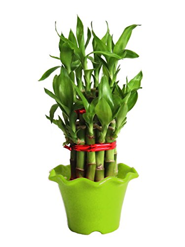 Rolling Nature 2 Layer Long Stalks Lucky Bamboo in Green Blossom Pot  available at amazon for Rs.279