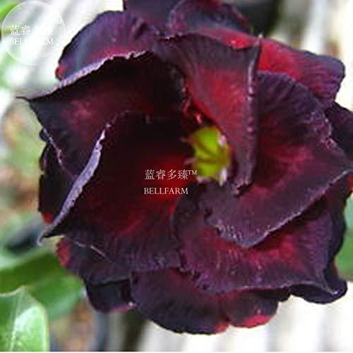 Go Garden BELLFARM bonsai Rare & # 39; Black Widow & # 39; Las flores negras de 3 capas de Adenium del desierto florecieron rosa para el jardín alta germinación -2pcs / pack