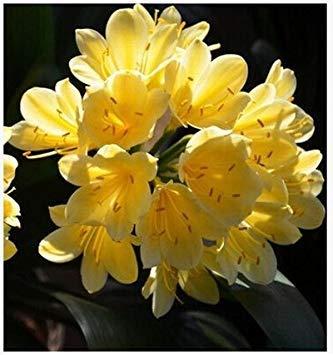 graines rares Clivia extérieur vivaces Bonsai Balcon fleurs en pot pour plantes ornementales Jardin Décor Facile à cultiver 100 pcs / sac 12