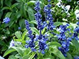 salvia, fiore blu, Salvia farinacea, 300 semi! Groco