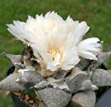 10 x Ariocarpus Retusus V Elongatus Seme - - Piante - B699