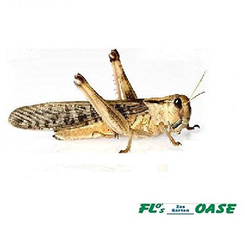 Heuschrecken Wanderheuschrecken MIX 100 Stück Futterinsekten Reptilienfutter Futtertiere - 2
