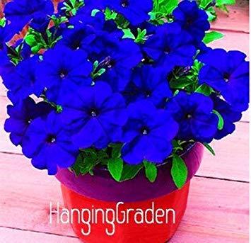 Homely 100 graines de pétunia -Black Velvet Petunia, variété rare, rustique, balcon durable, fleur de jardin, 21CFGA