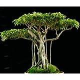 Ficus benjamina - figuier pleureur - 100 graines